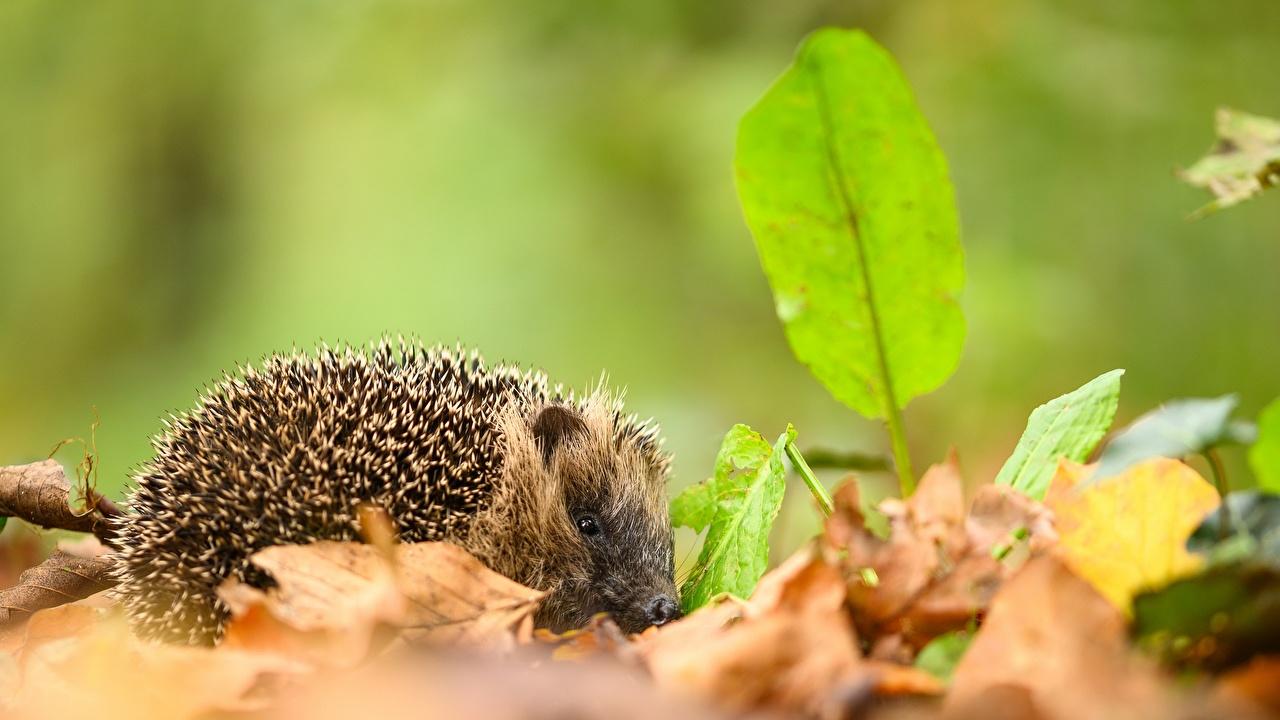 Images Hedgehogs Foliage Bokeh Autumn Animals Leaf blurred background animal