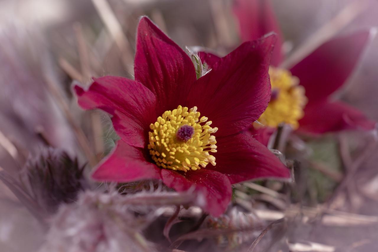 Fotos von Bokeh Blumen Kuhschellen Großansicht unscharfer Hintergrund Blüte hautnah Nahaufnahme