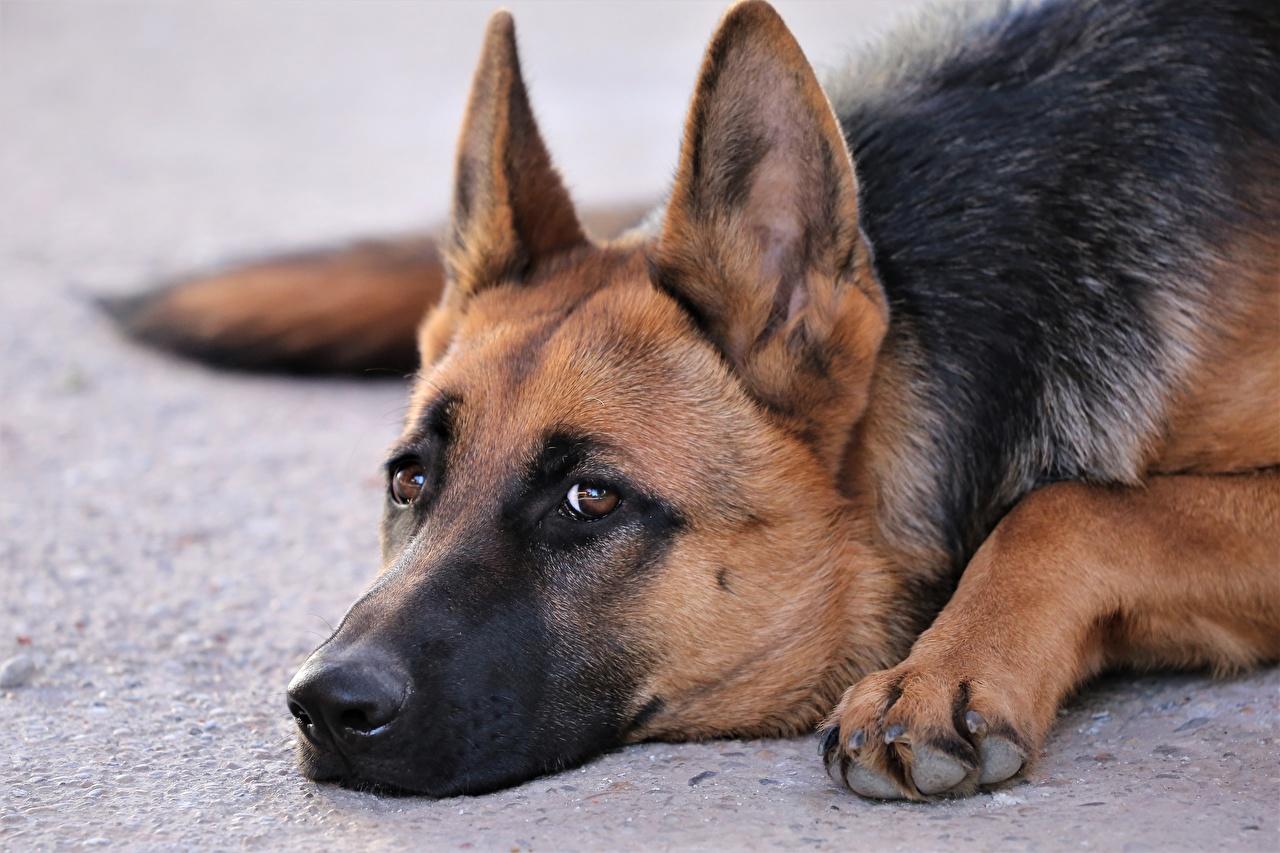 Wallpaper German Shepherd dog Paws Snout animal Glance Closeup Dogs Staring Animals