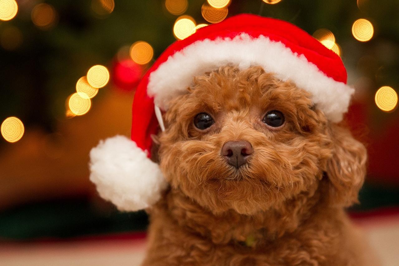 壁紙,犬,新年,贵宾犬,凝视,保暖帽,小狗,動物,下载,照片