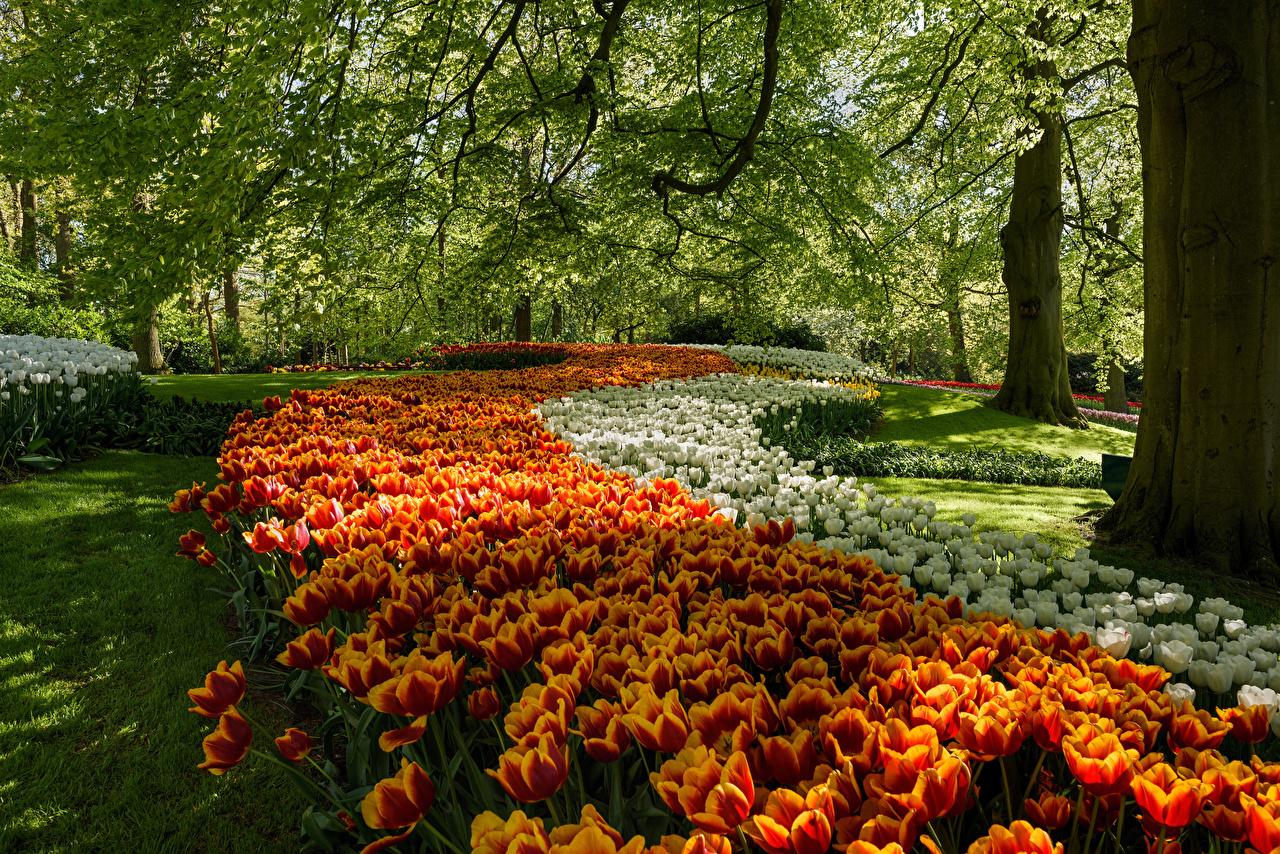 Foto Niederlande Keukenhof Natur Tulpen Park Bäume