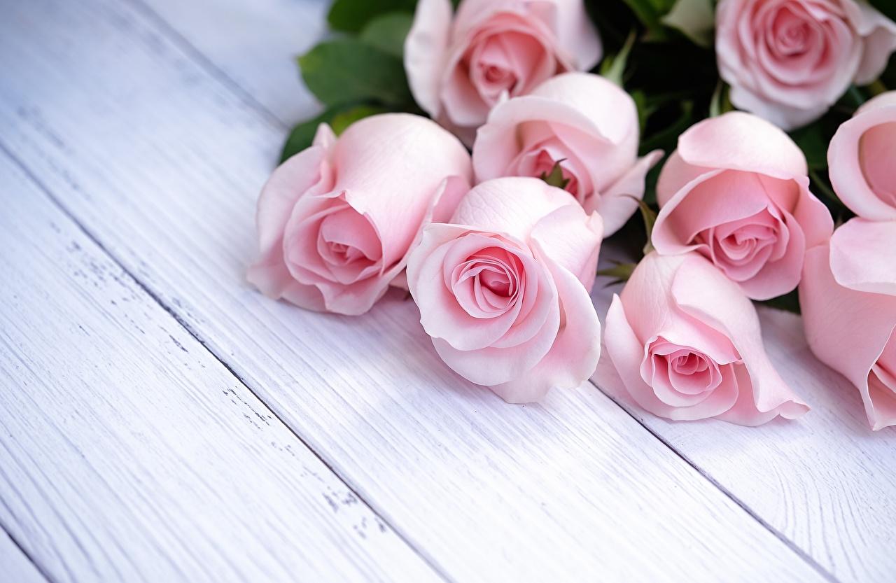 ::Desfile de Rosas AMDA::Hoy se presenta la Rosa Rosa AMDA  Roses_Pink_color_Wood_planks_Template_greeting_570912_1280x833