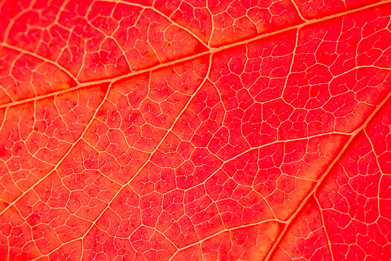 Desktop Wallpapers Nature Red Texture Foliage Macro photography Leaf Macro