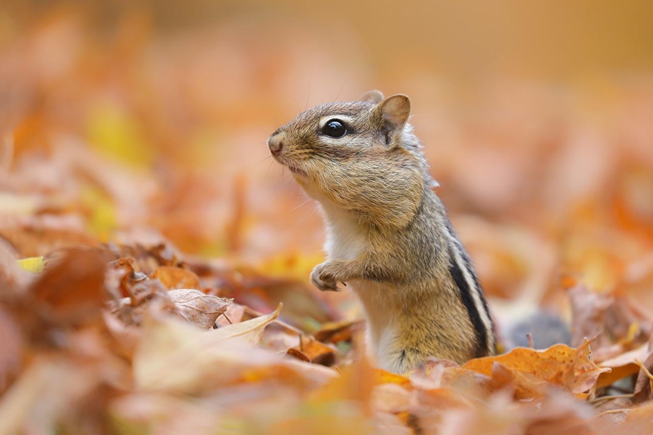 Images Rodents Chipmunks Leaf Bokeh Animals Foliage blurred background animal
