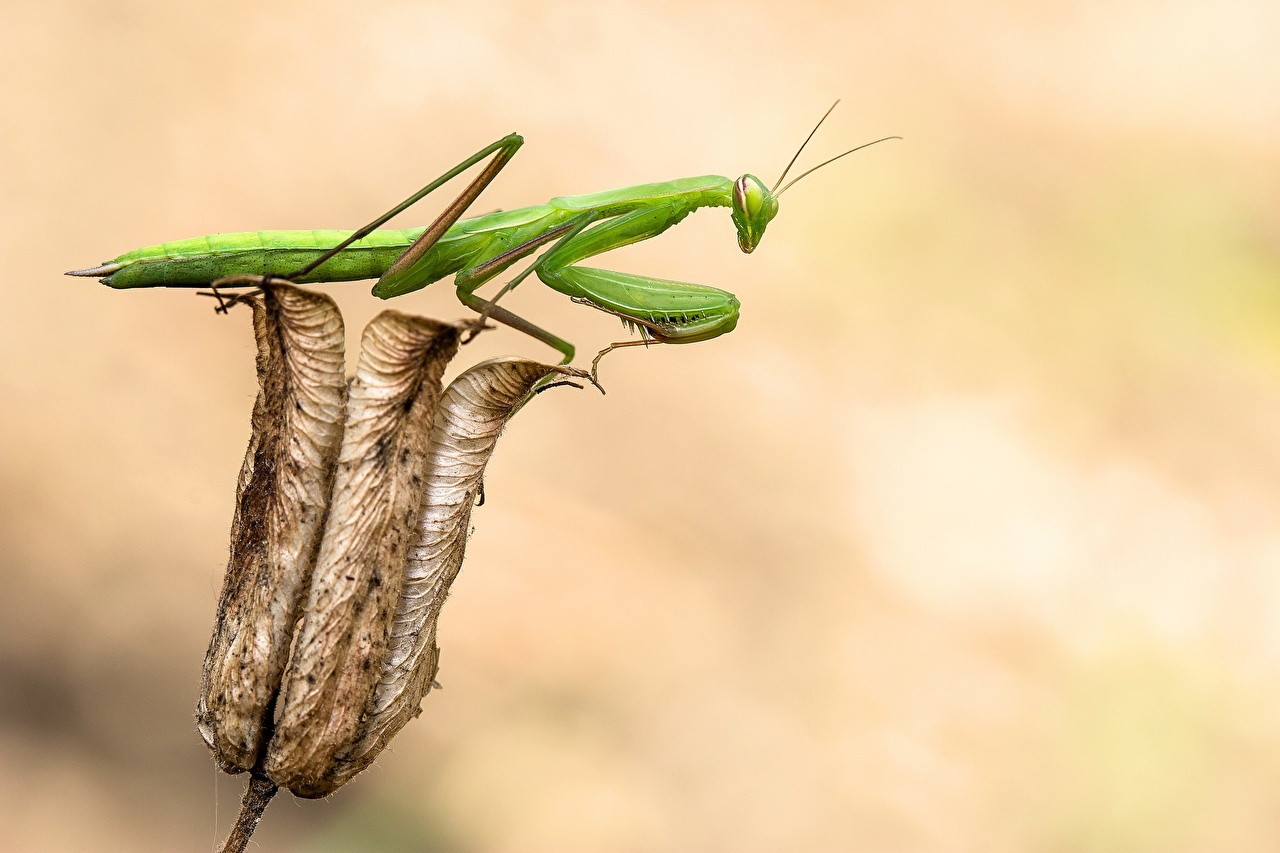 Photo Mantis Insects animal mantodea Animals