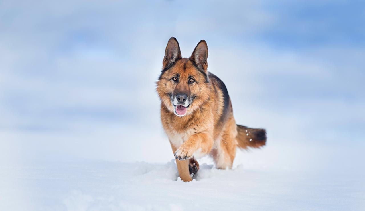 Fotos von Shepherd Hunde Tiere