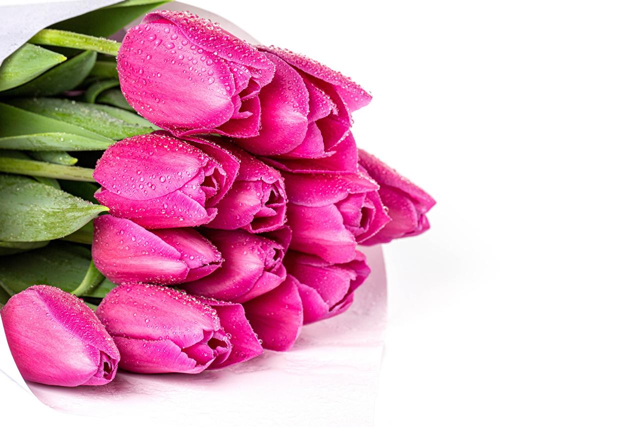 Fotos Sträuße Tulpen Rosa Farbe Blumen Tropfen Weißer hintergrund Blumensträuße Blüte