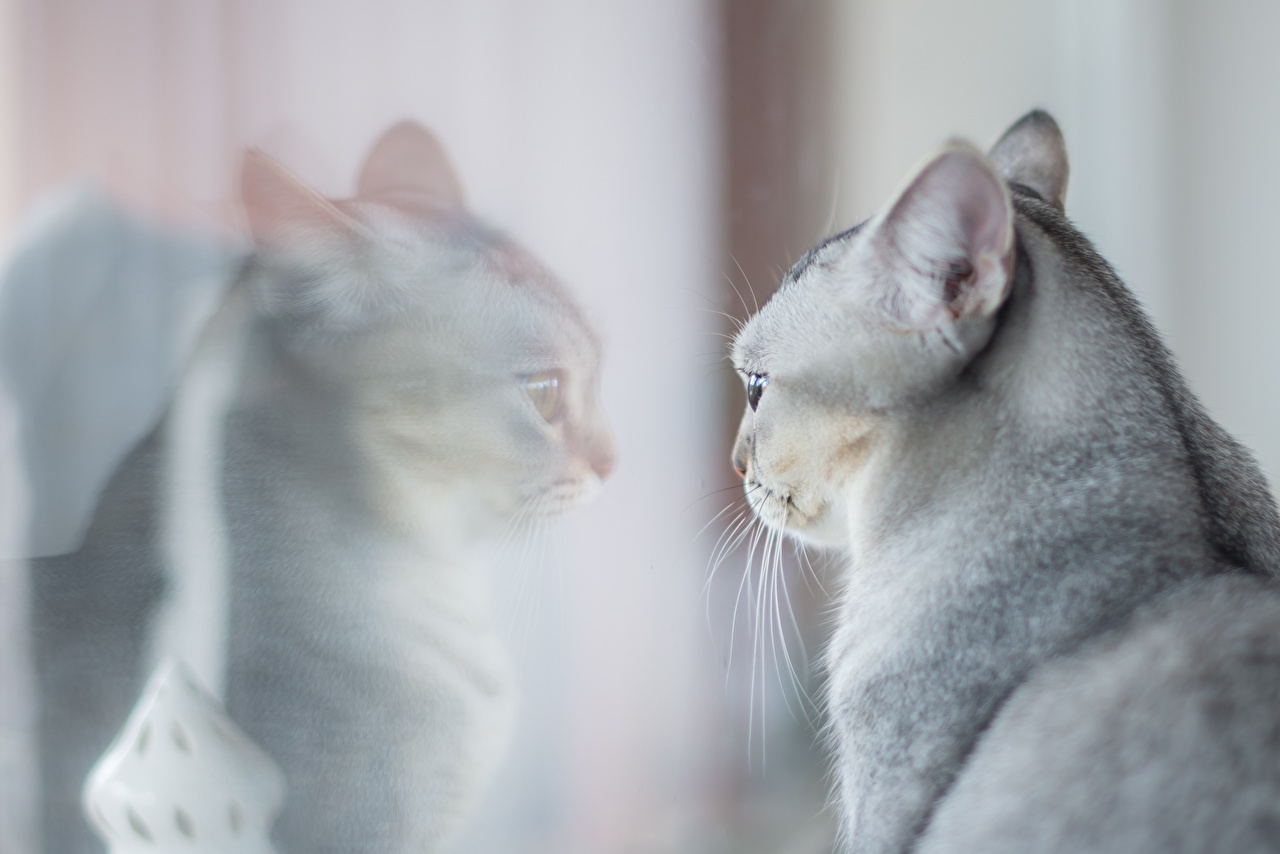 Pictures Cats gray reflected Glass Head Animals cat Grey Reflection animal