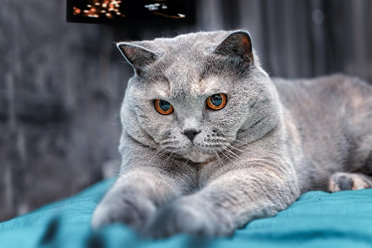Fotos von Britisch Kurzhaar Katze Grau Tiere Starren Katzen Hauskatze graue graues Blick ein Tier