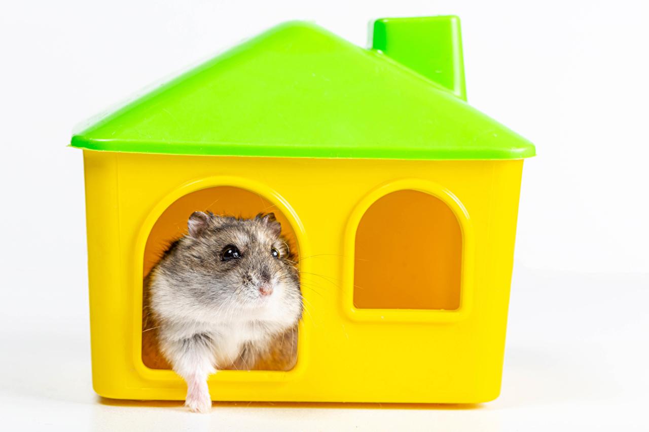 Desktop Hintergrundbilder Hamster Gebäude ein Tier Weißer hintergrund Haus Tiere