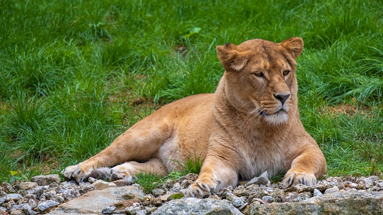 Pictures lion Lioness laying Stones Glance Animals Lions esting Lying down stone animal Staring