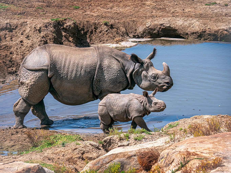 Photo rhinoceros Cubs 2 Side Animals Rhino Two animal