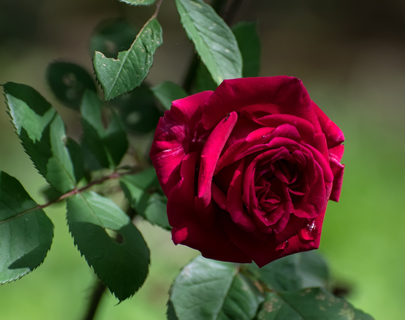 Wallpaper Foliage Bokeh Red Roses Flowers Closeup Leaf blurred background rose flower