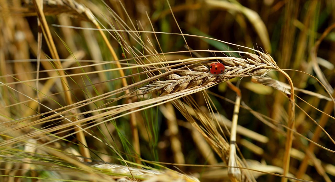 Fotos von Marienkäfer Bokeh Natur Weizen Ähre hautnah unscharfer Hintergrund Ähren spitze spitzen Nahaufnahme Großansicht