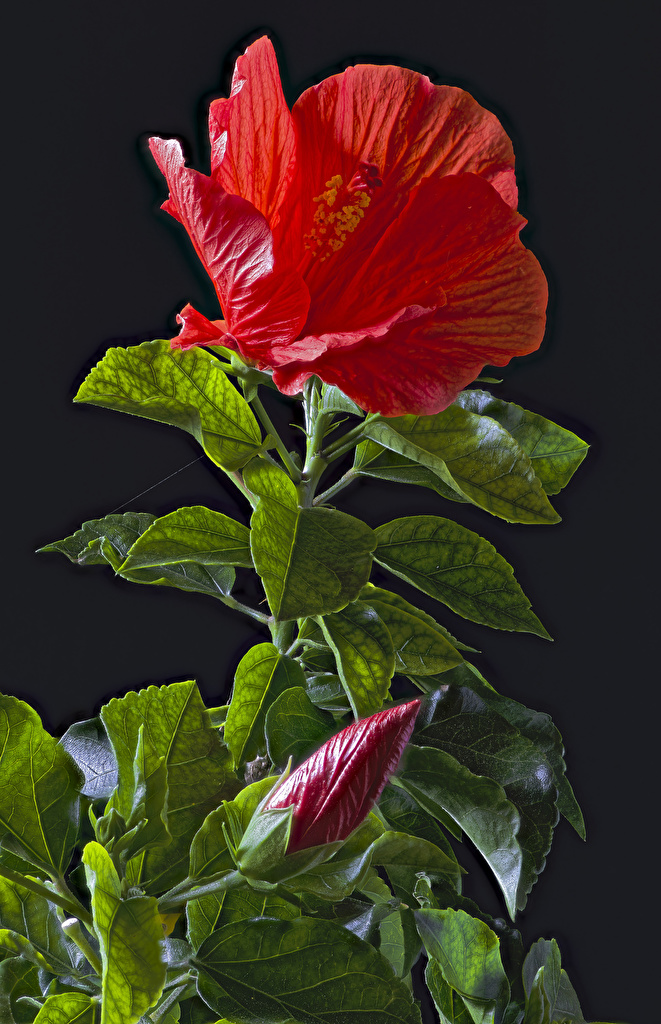Images Leaf Red Flowers Hibiscus Flower-bud Black background  for Mobile phone Foliage flower rose mallow