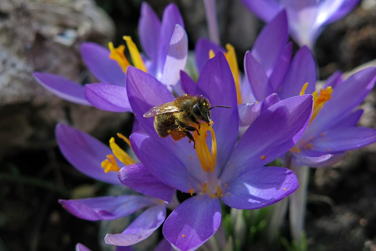 Afbeelding Bijen Insecten paarse kleur bloem Krokussen Close-up bij Violet krokus Bloemen van dichtbij