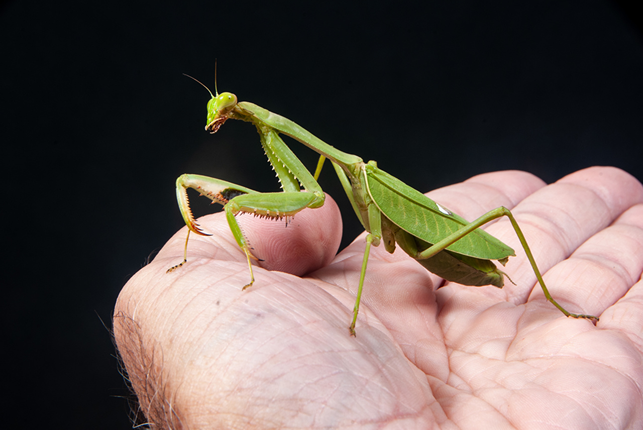 Picture Mantis Insects Hands Closeup Animals mantodea animal