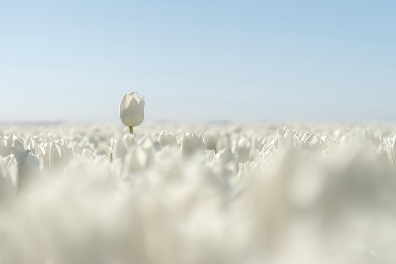 Image tulip White Fields Flowers Tulips flower