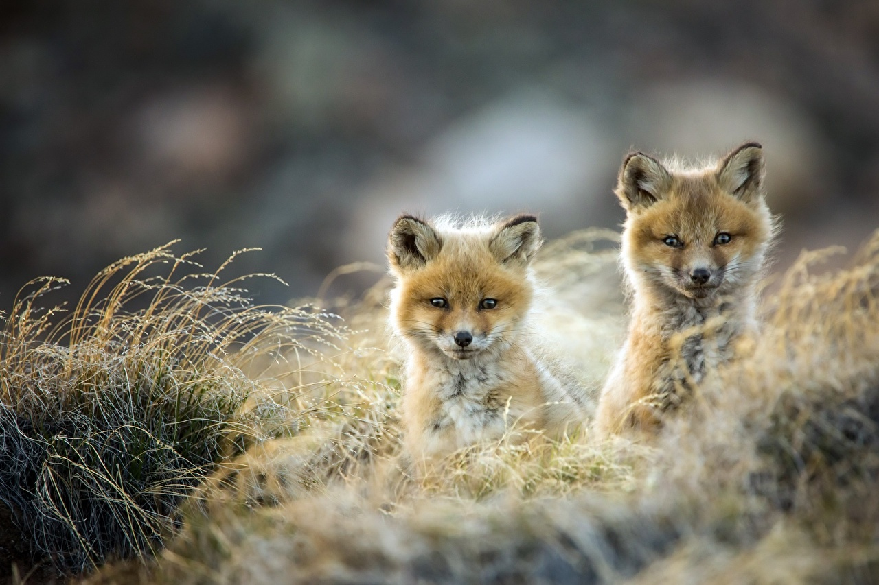 Pictures Foxes Cubs Two Glance Animals 2 animal Staring