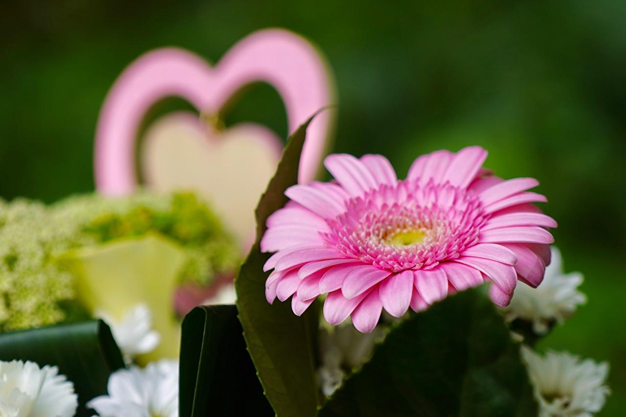Foto Bokeh gerbera Rosa colore Fiori Da vicino sfondo sfocato Gerbere fiore
