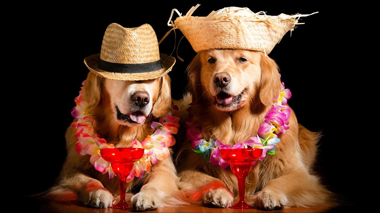 Image Golden Retriever dog Funny Stemware Animals Black background Dogs animal