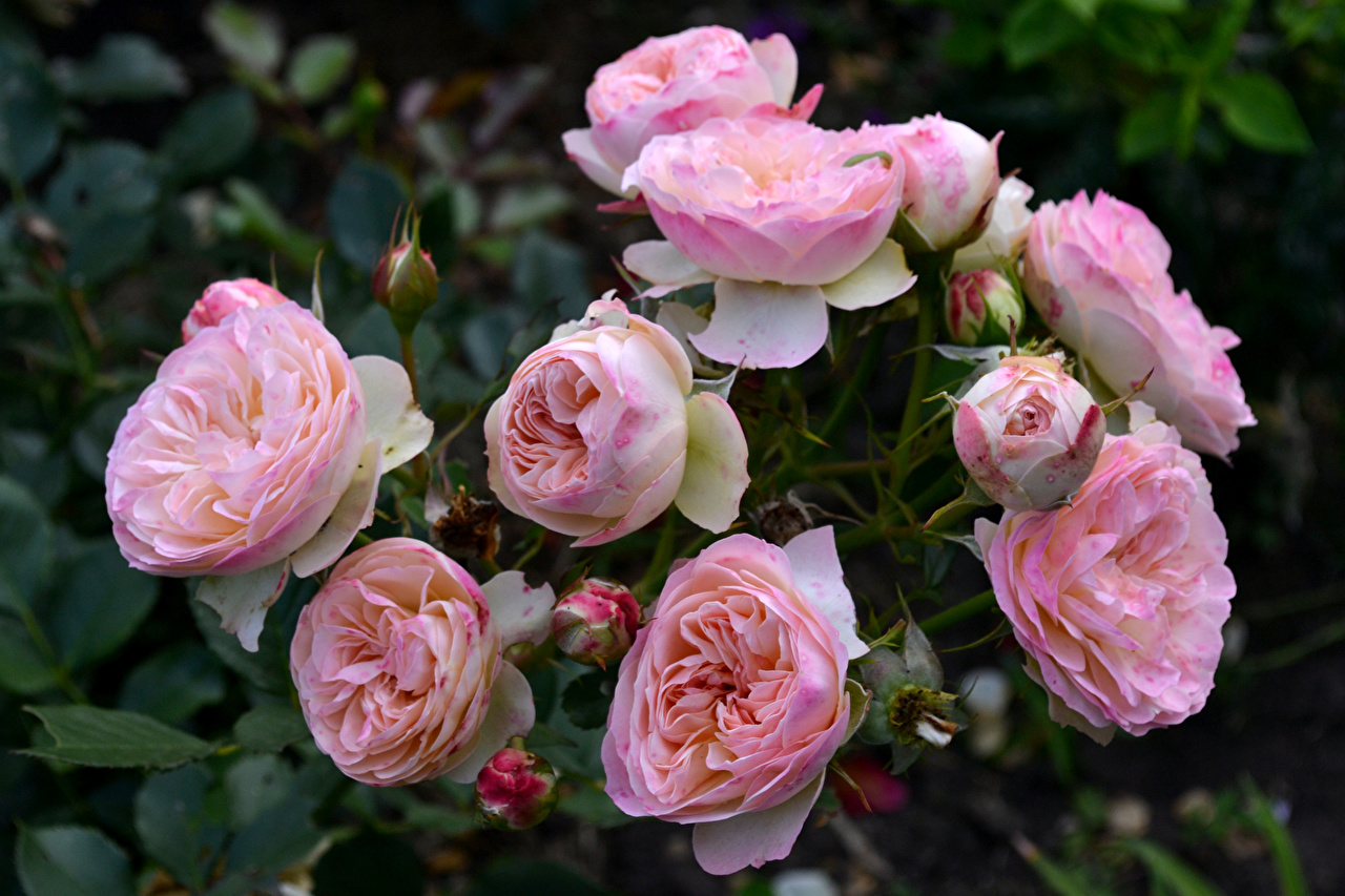 Image Roses Pink color Flowers Closeup Flower-bud