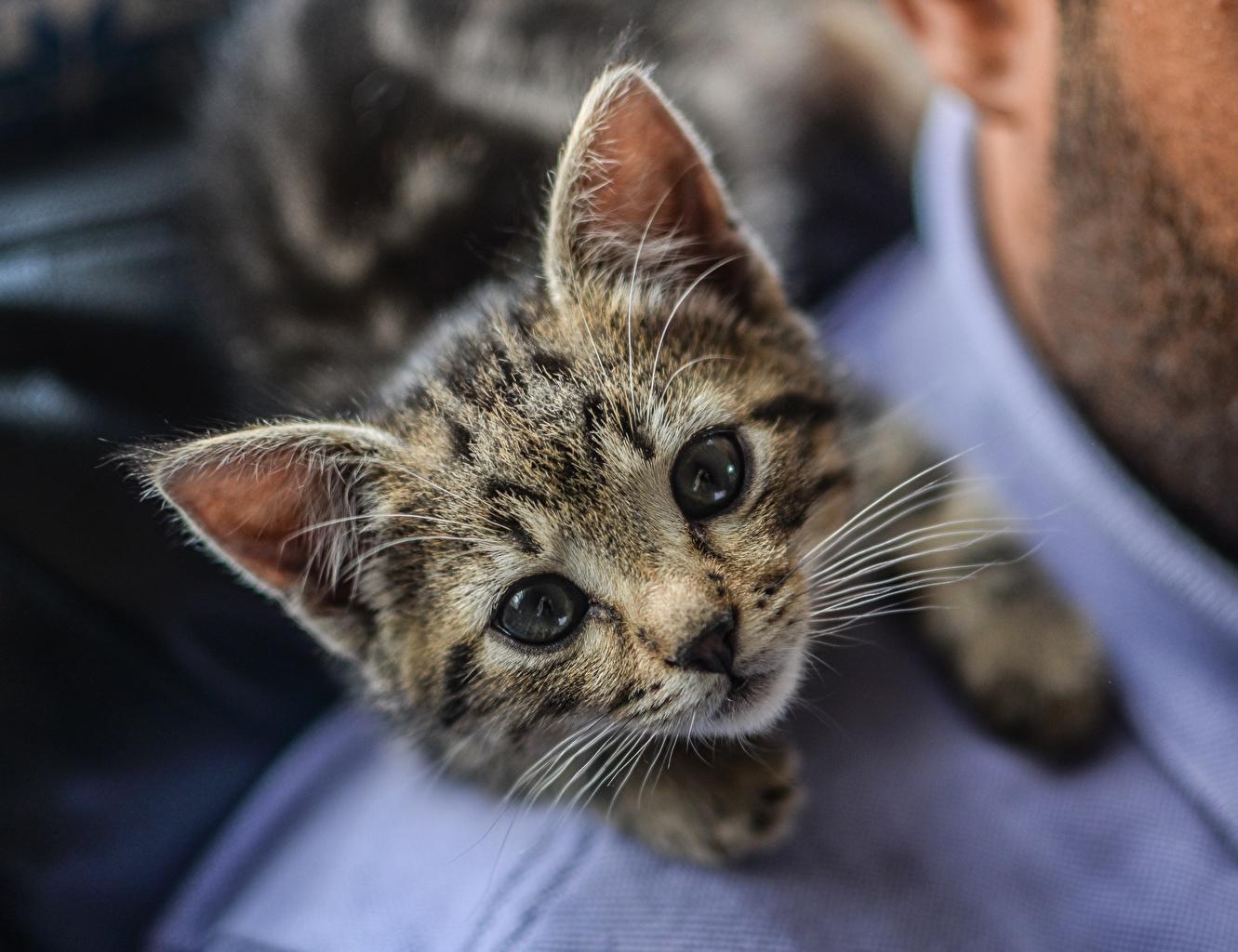 Bilder von Kätzchen Katze Süß Schnurrhaare Vibrisse Starren ein Tier Katzenjunges Katzen Hauskatze nett süße süßer süßes niedlich Tiere Blick