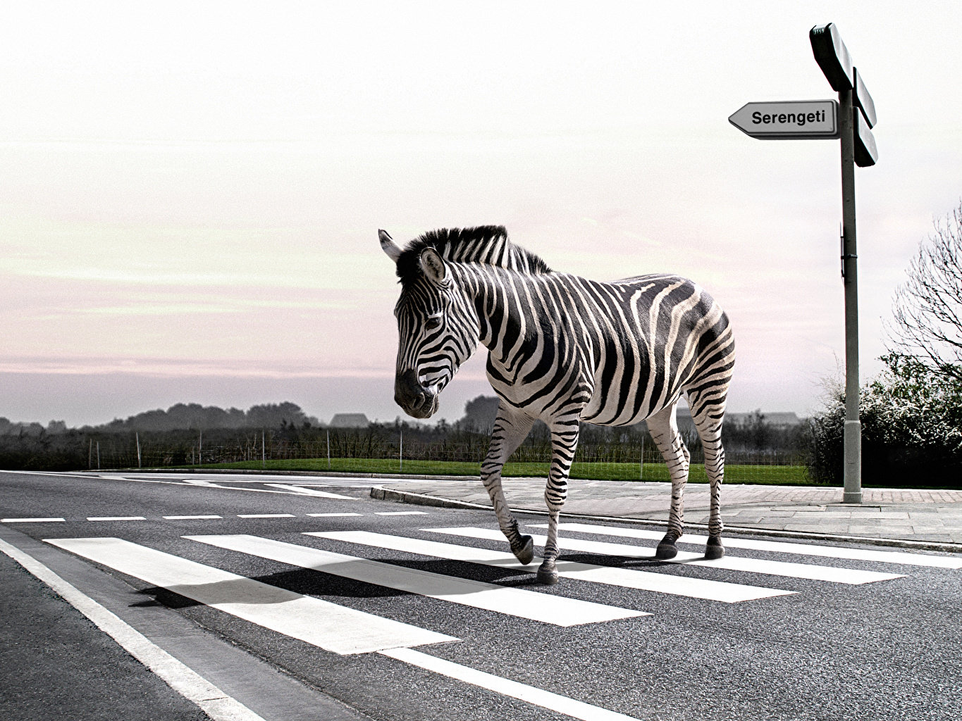 Wallpaper funny Zebras Roads Asphalt animal Humor zebra Animals