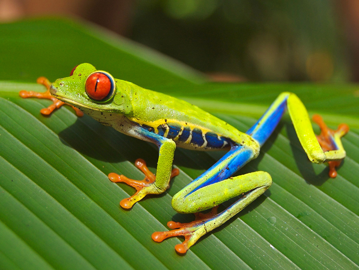 Pictures Frogs lime color Closeup Animals frog Yellow green animal