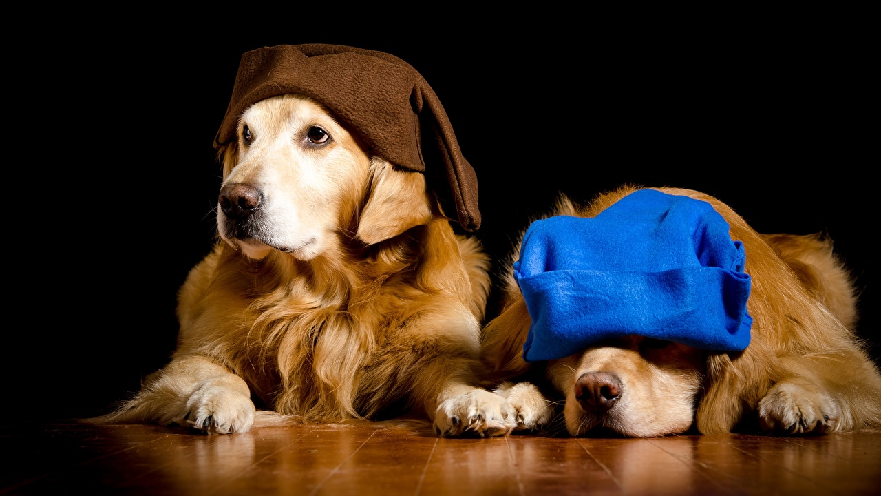Bilder von Retriever Golden Retriever hund Zwei Mütze Tiere Schwarzer Hintergrund Hunde 2 ein Tier