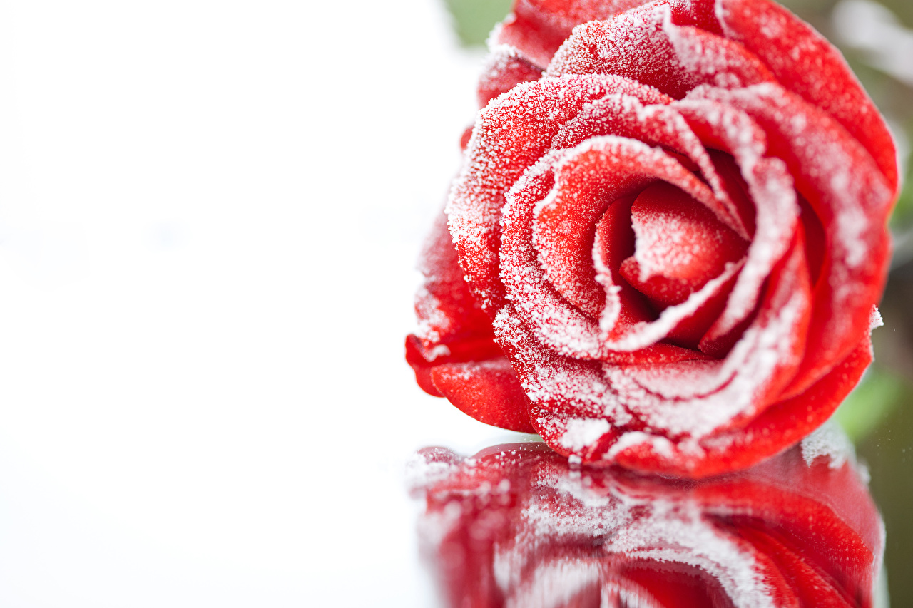 Images Red Roses Snow Flowers Closeup rose flower