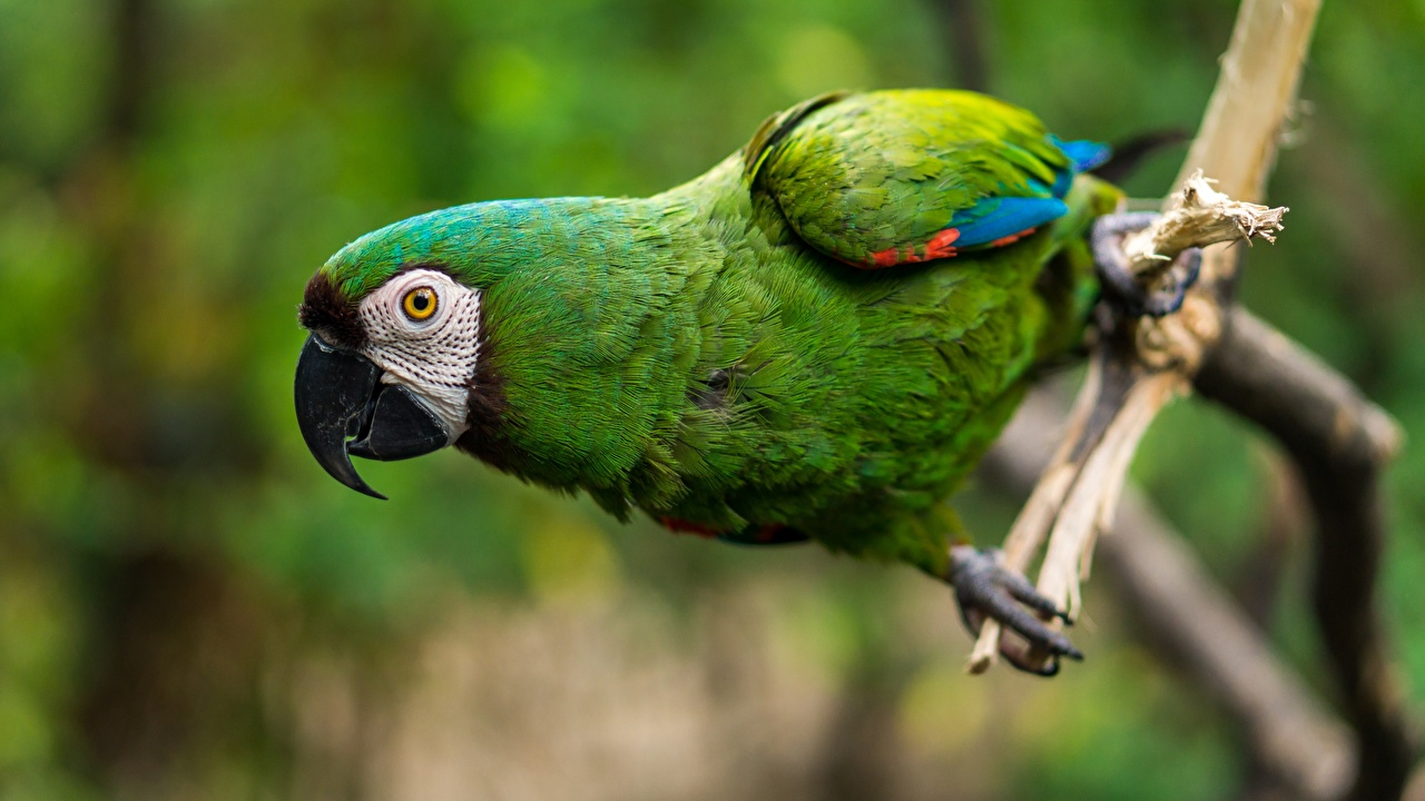 Image Ara (genus) bird parrot Beak Green Closeup Animals Birds Parrots animal