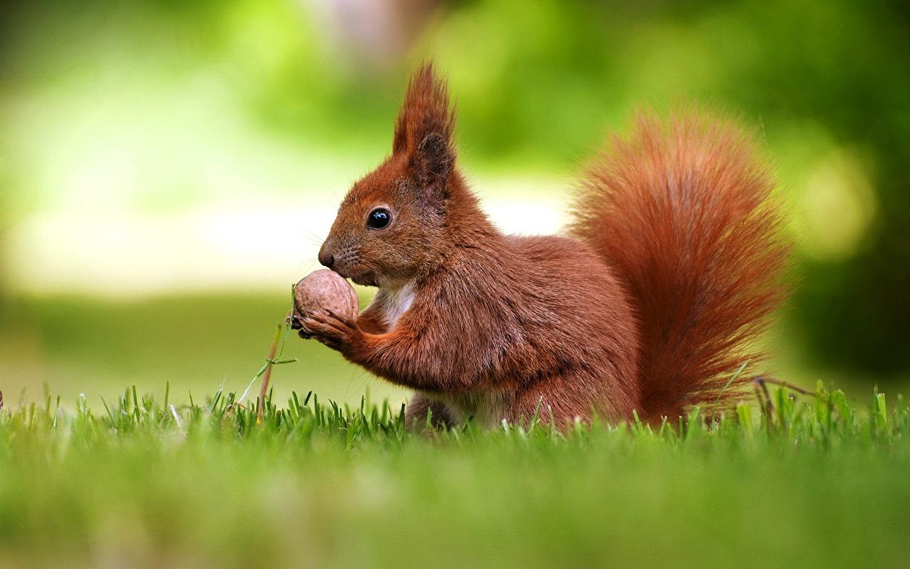 Pictures Animals Squirrels Walnut Nuts Grass animal