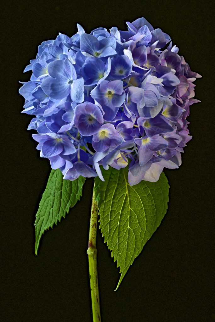 Photo Flowers Hydrangea Closeup Black background  for Mobile phone flower