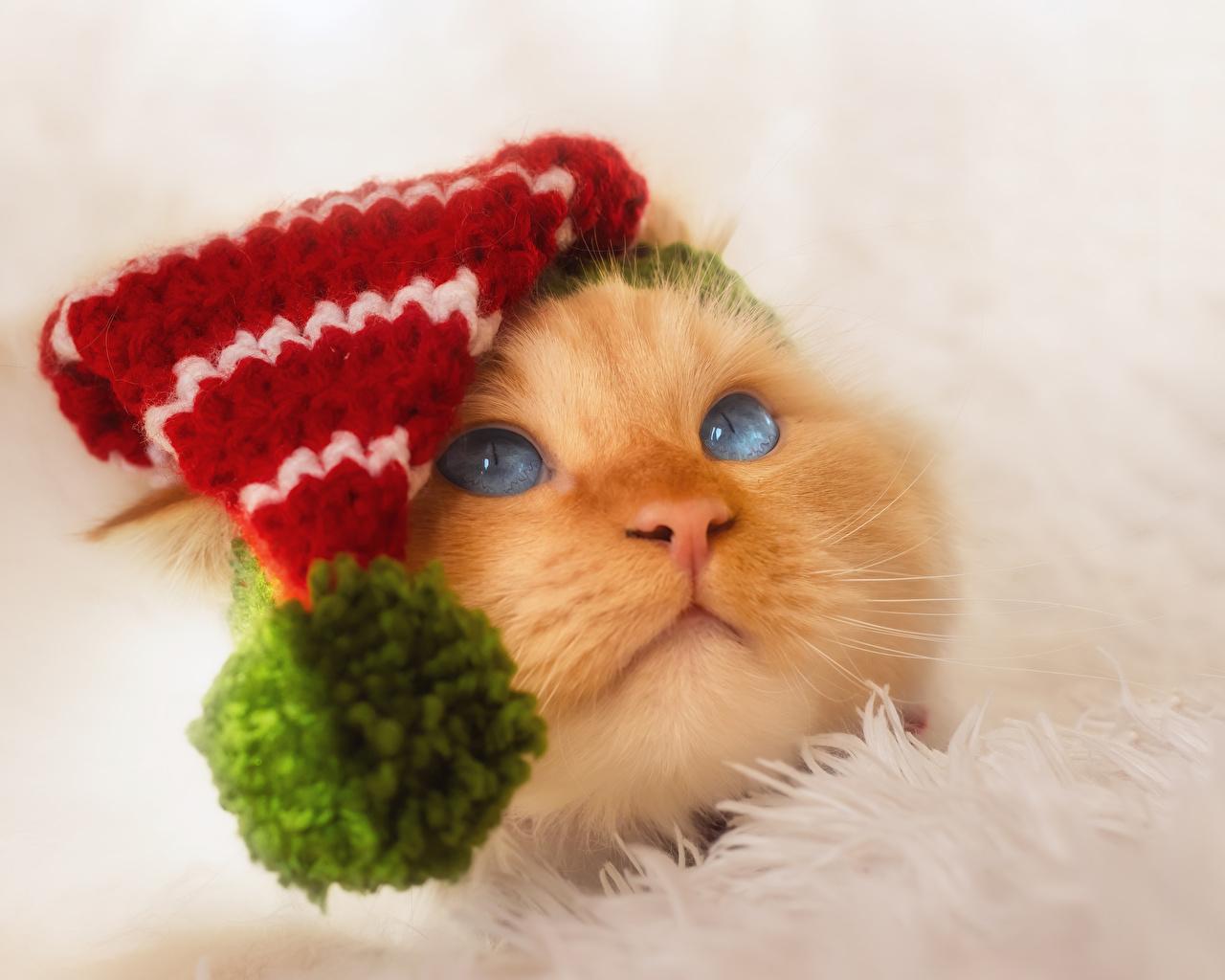 Fotos von Katze Mütze Schnauze Tiere Starren Katzen Hauskatze Blick ein Tier