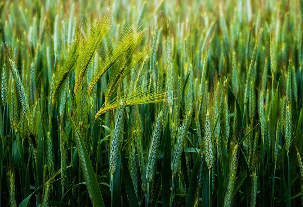 Desktop Wallpapers Wheat Green Nature spikes Closeup spike Ear botany