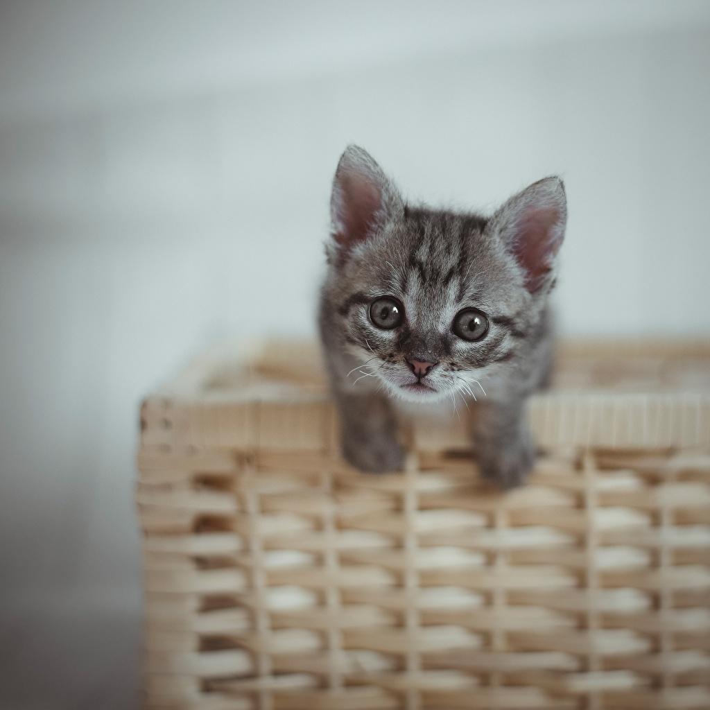 Bilder Kätzchen Hauskatze graue Weidenkorb Starren ein Tier Katzenjunges Katze Katzen Grau graues Tiere Blick