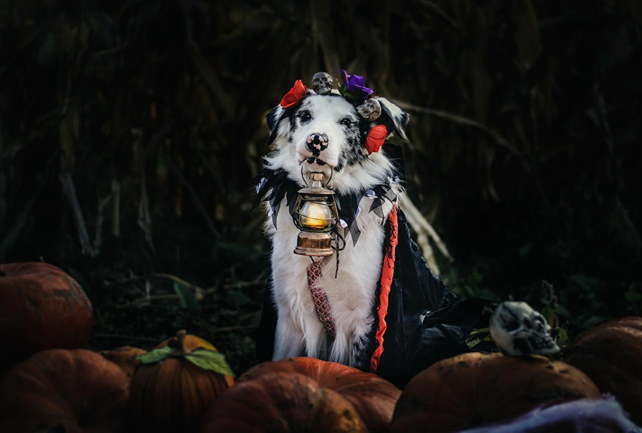 Perro Lámpara de queroseno Pastor ovejero australiano animales, un animal, perros, de parafina Animalia