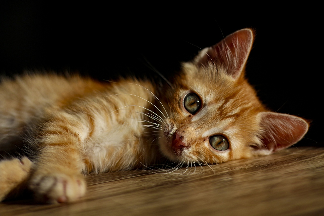Pictures Cats Lying down blurred background red orange Paws Glance Animals cat laying esting Bokeh Ginger color animal Staring