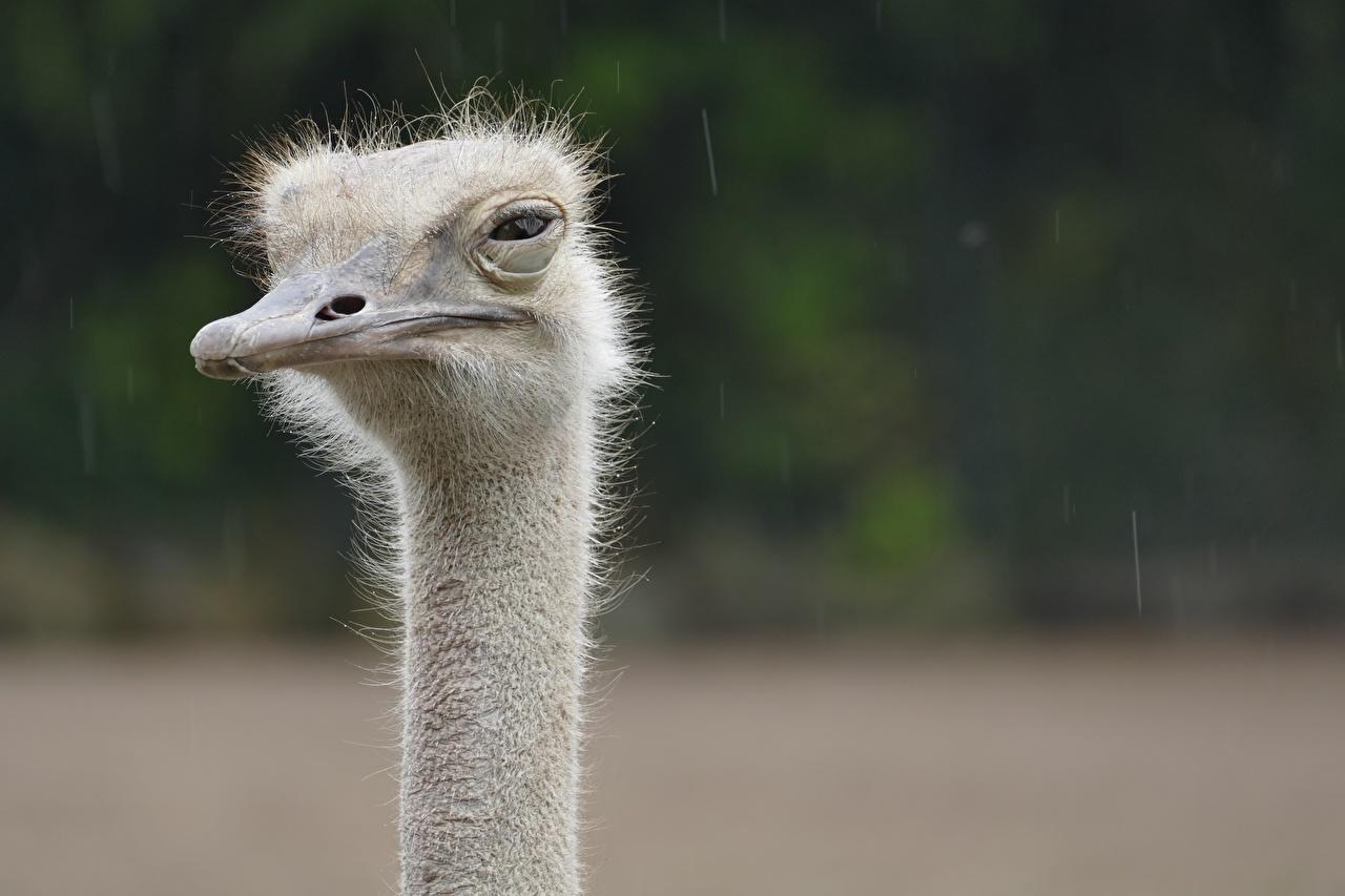 Picture ostrich Bokeh Beak Head Closeup Staring Animals Ostriches blurred background Glance animal