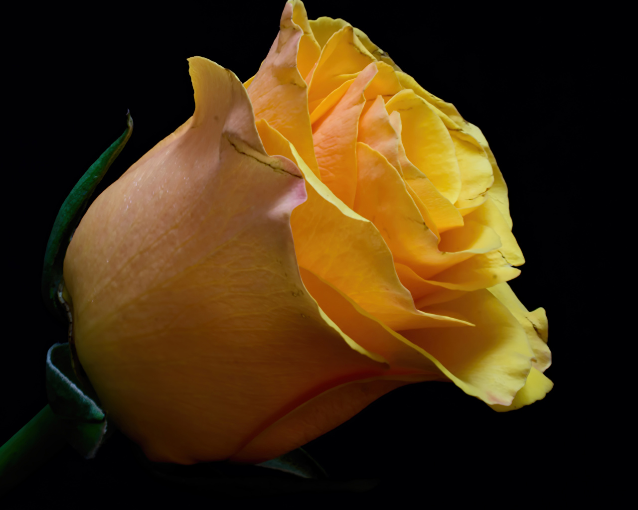 Fotos Rose Gelb Blumen Großansicht Schwarzer Hintergrund Rosen Blüte hautnah Nahaufnahme