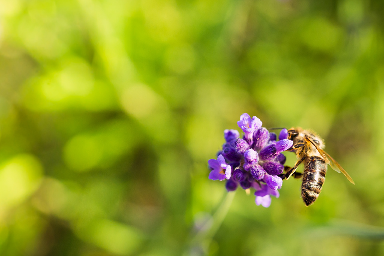 Фото Пчелы насекомое Размытый фон вблизи Животные Насекомые боке животное Крупным планом