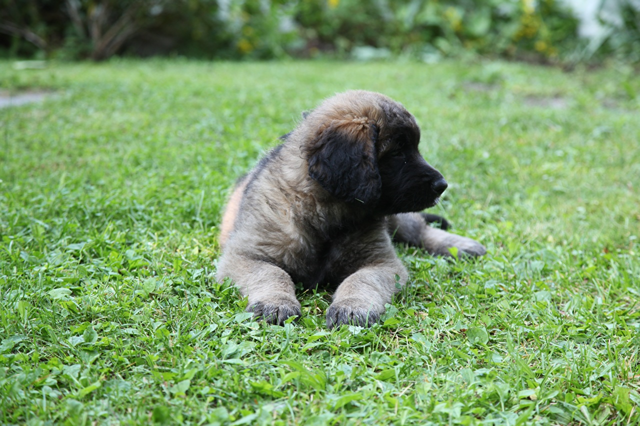 Image puppies Dogs Leonberger Paws Grass animal Puppy dog Animals