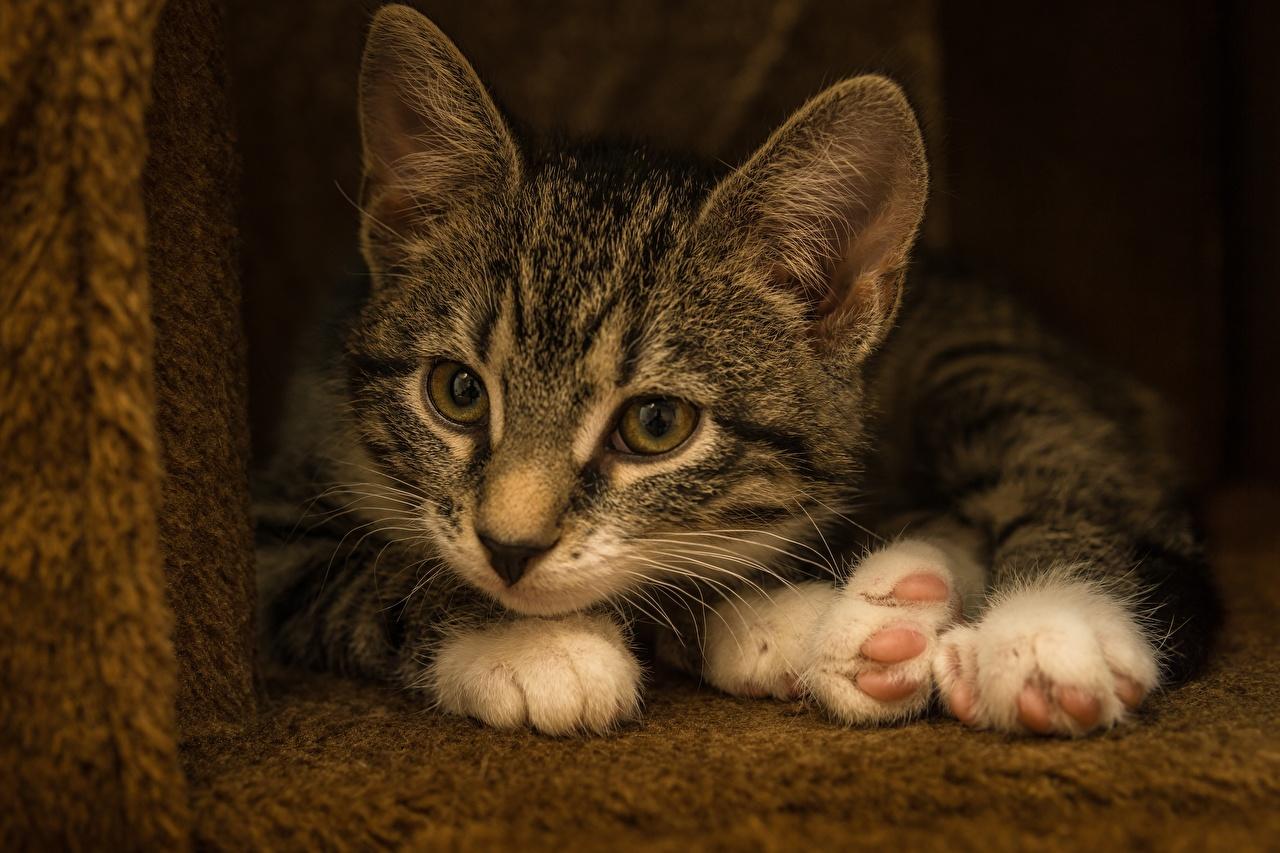 Foto Kätzchen Katzen Liegen Pfote ein Tier Katzenjunges Katze Hauskatze Liegt ruhen hinlegen Tiere