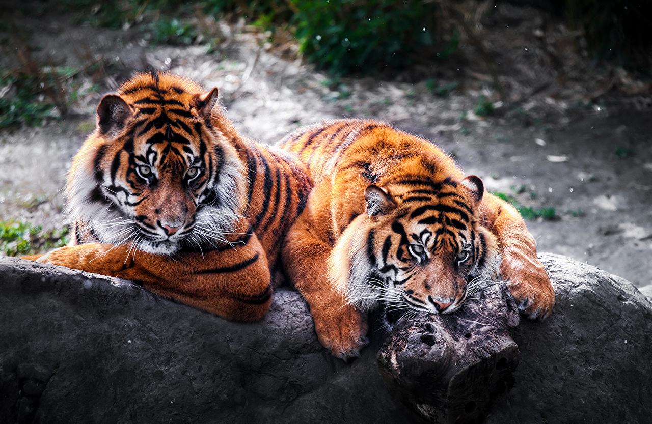 Fonds d'ecran Fauve Tigre Deux Animaux télécharger photo
