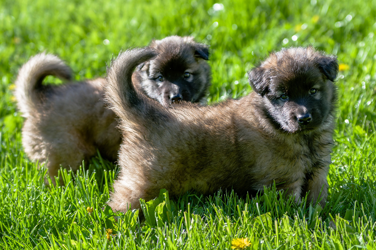 Fotos Welpe Shepherd Hunde Caucasian 2 Gras Tiere Zwei