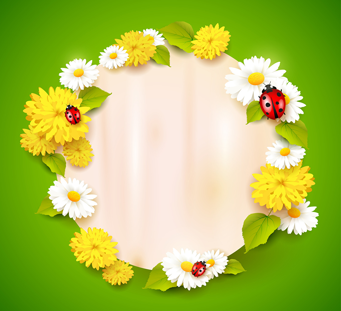 Picture Ladybugs flower Taraxacum matricaria Template greeting card Colored background Ladybird Lady beetle Coccinellidae Flowers Camomiles Dandelions