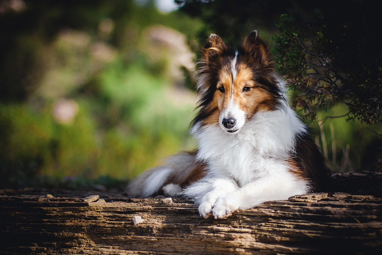Pictures Collie Dogs animal dog Animals