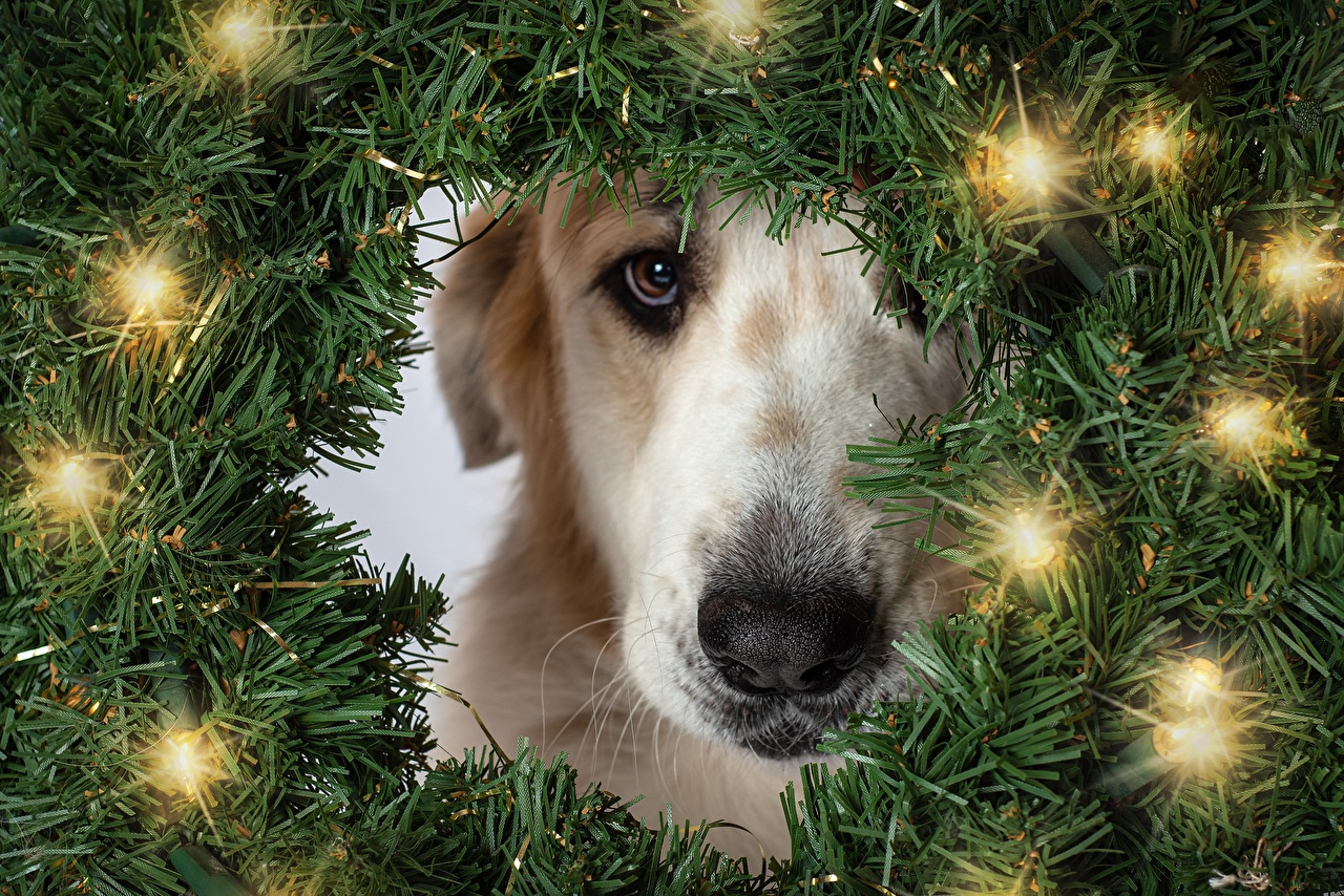 Images Dogs Christmas Branches Fairy lights Staring Animals dog New year Glance animal