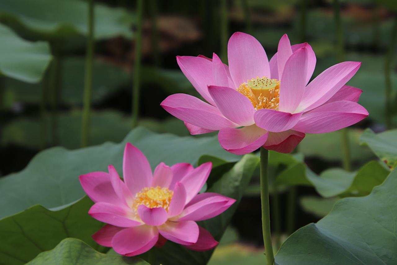 Photos Pink color Flowers Lotus flower Closeup flower Nelumbo